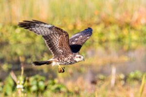 An endangered snail kite foraging above the recreated wetlands at Lake Gwyn.